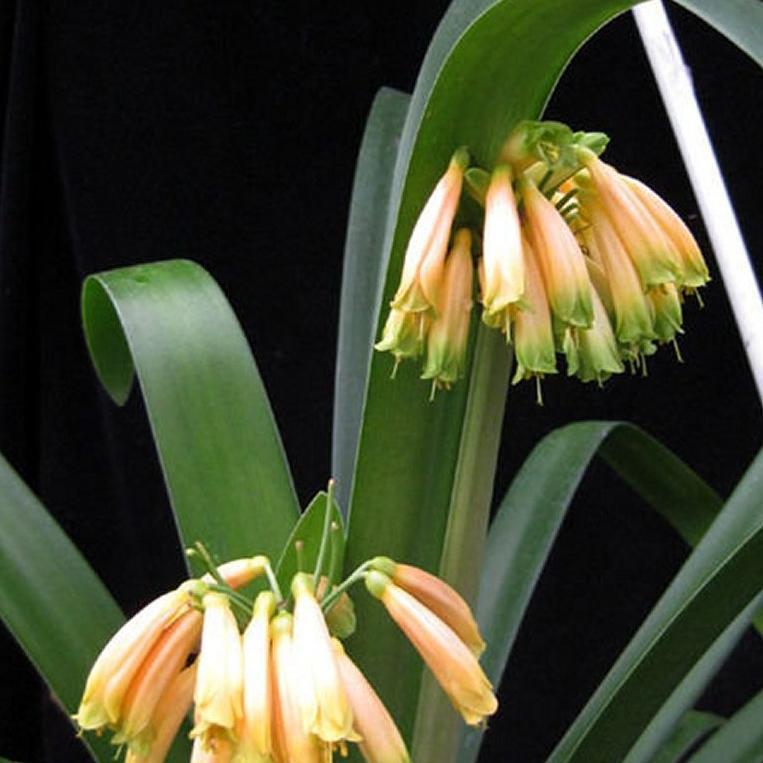 Clivia gardenii Espèce type
