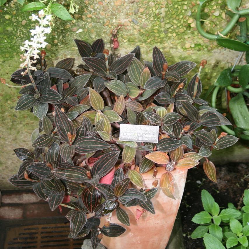Orchidée-bijou (Ludisia discolor) Espèce type