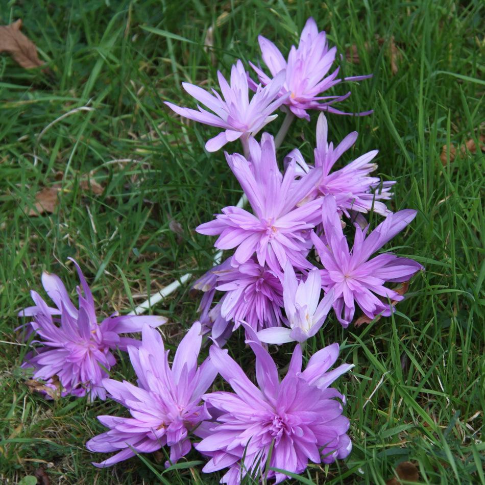 Colchiques d'automne (Colchicum autumnale) 'Pleniflorum'