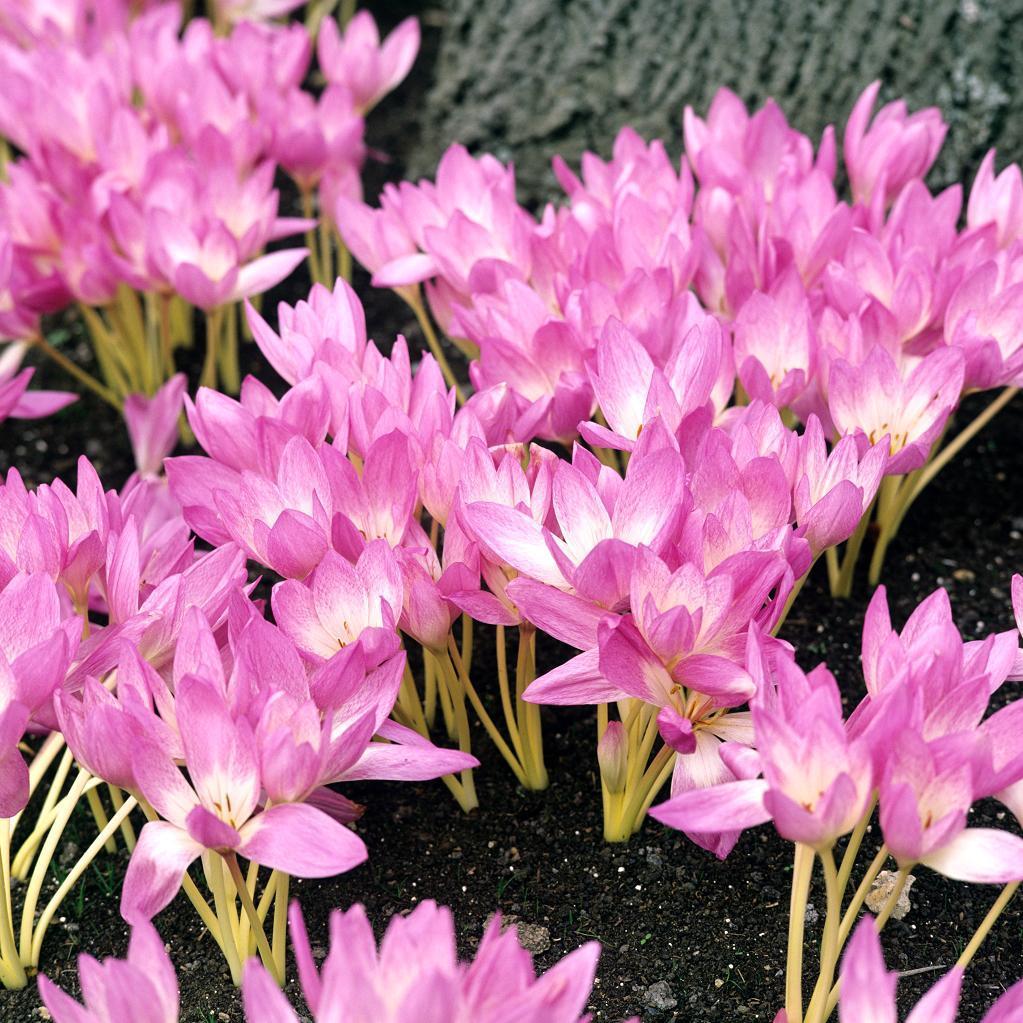 Colchiques d'automne (Colchicum autumnale) C. byzantinum