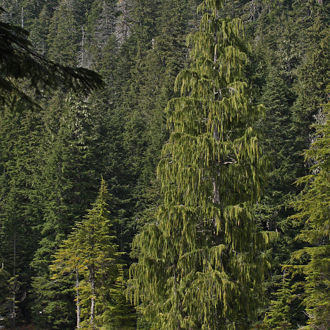Cupressus nootkatensis Espèce type