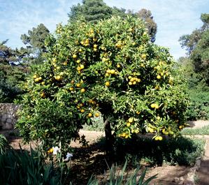 Oranger planter et entretenir ooreka - Oranger du mexique taille ...