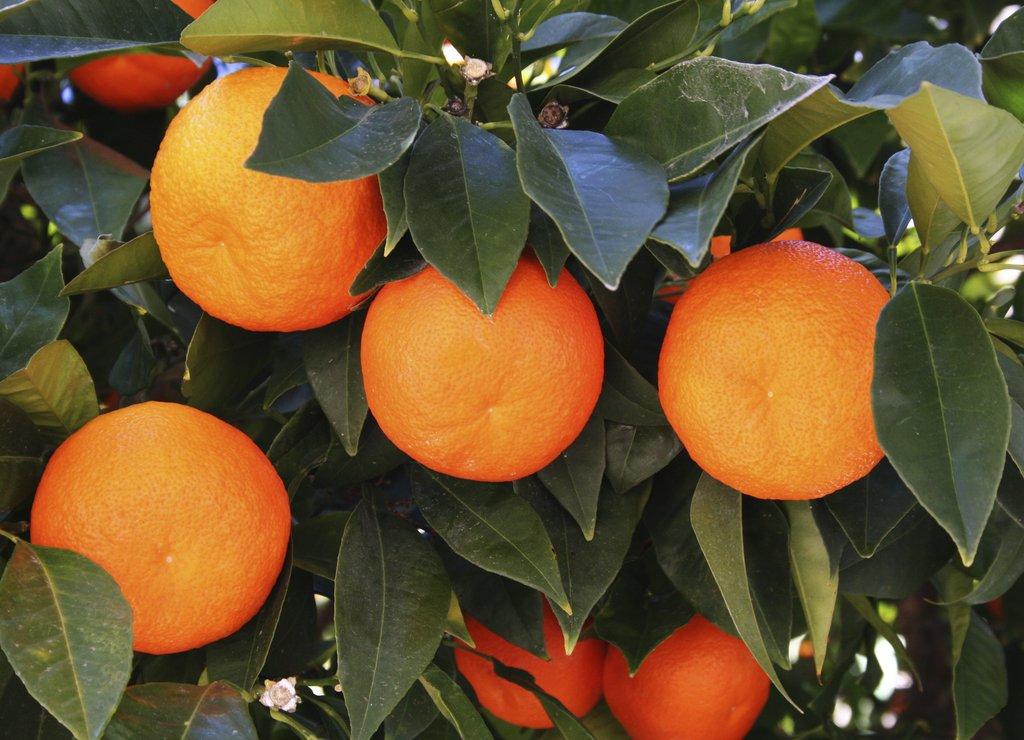 Oranger planter et entretenir ooreka - Comment s appelle l arbre du kaki ...