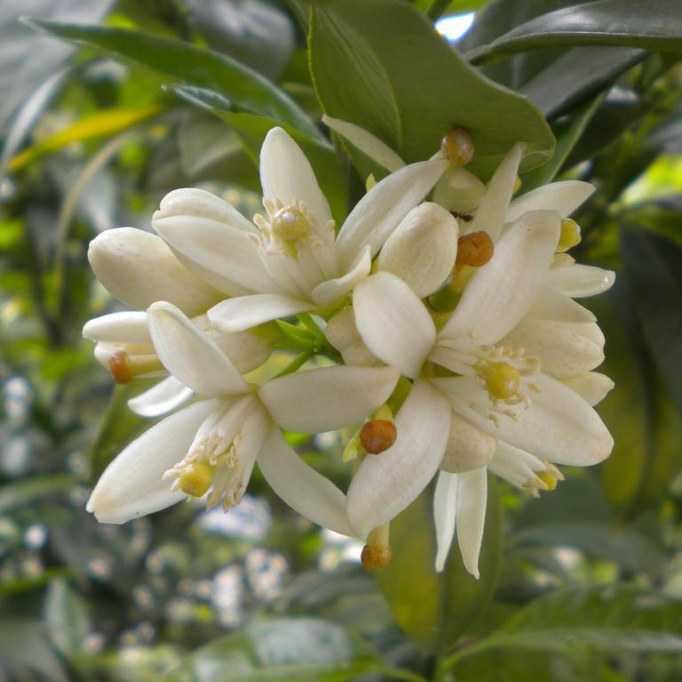 Navels (Citrus sinensis) 'Naveline'