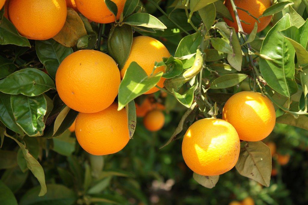 Oranger planter et entretenir ooreka for Taille d un abricotier fruits