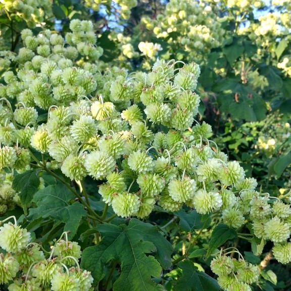 Montanoa hibiscifolia