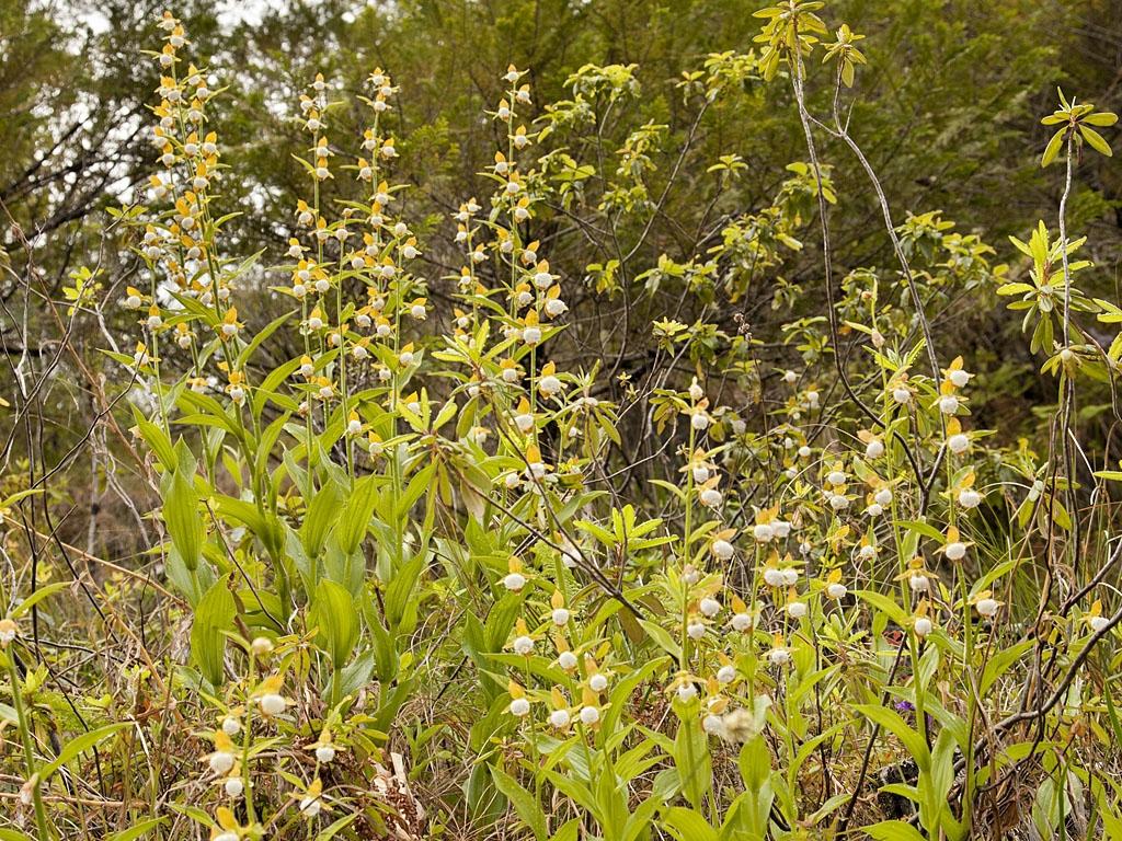 Culture Et Entretien De La Rhubarbe cypripedium : planter et entretenir – ooreka