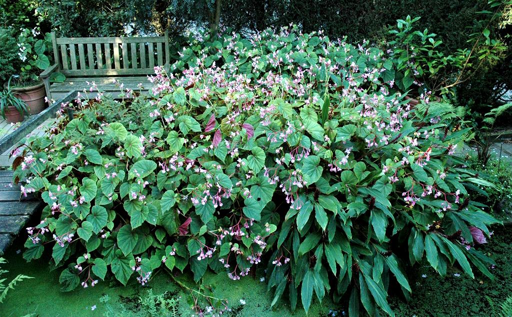 B gonia vivace planter et cultiver ooreka for Plante verte vivace exterieur