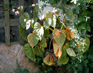 Multiplication du <em>Begonia grandis</em>