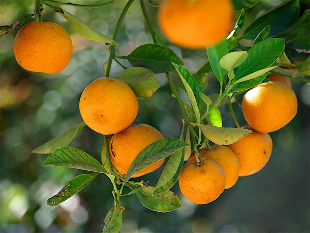 mandarinier   planter et tailler  u2013 ooreka