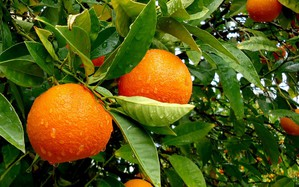 Culture et entretien du mandarinier
