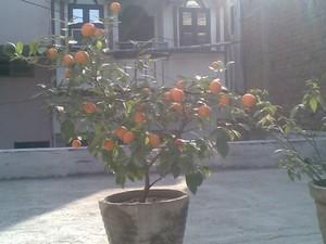 Plantation du mandarinier