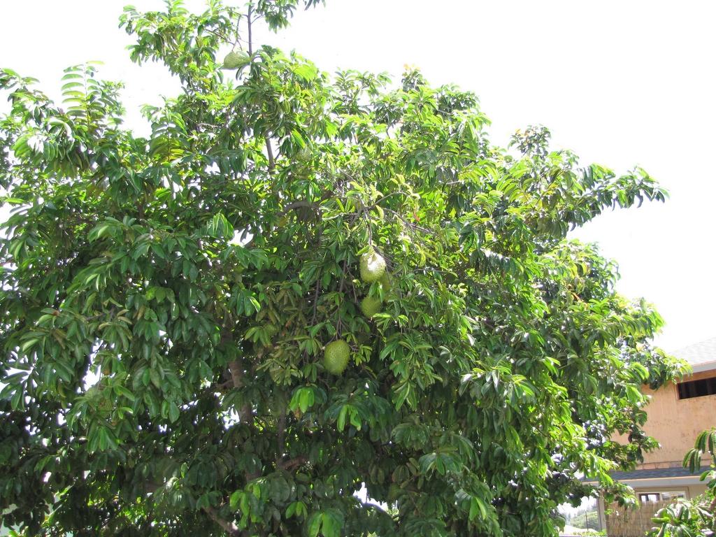 Comment Planter Un Arbre Fruitier corossolier : planter et entretenir – ooreka