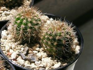 Plantation des <em>Echinopsis</em>