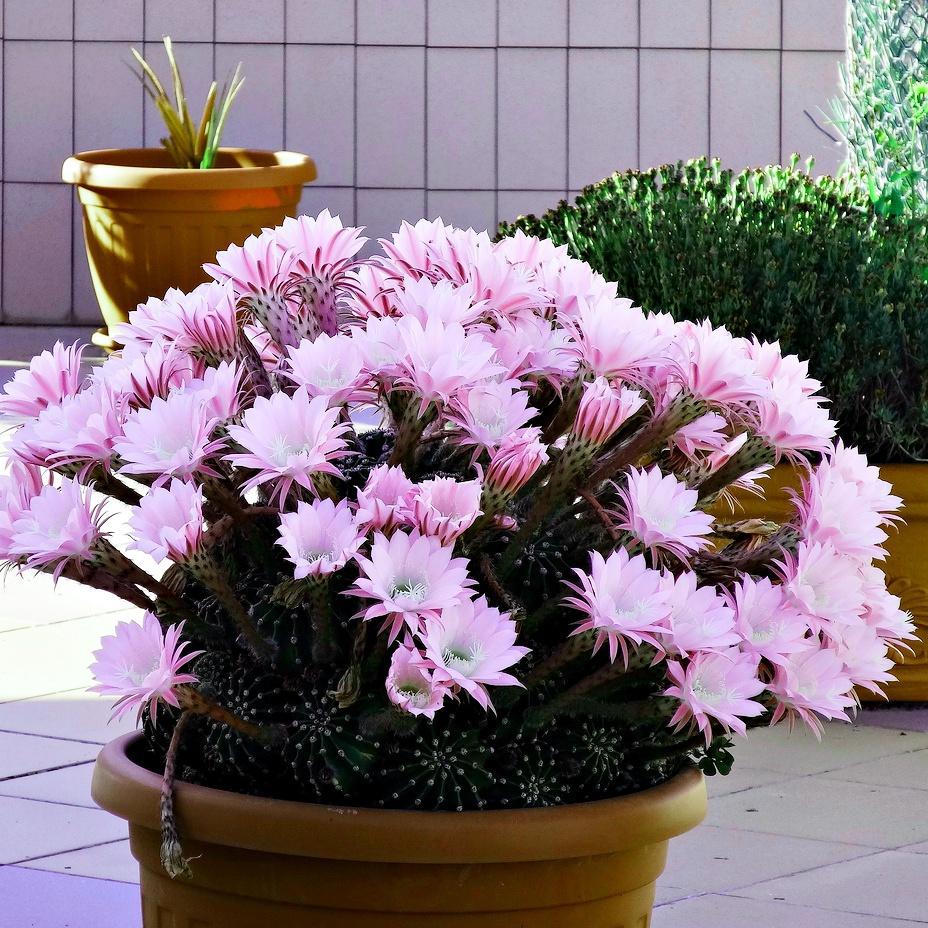 Echinopsis oxygona (Boule-de-Moïse)