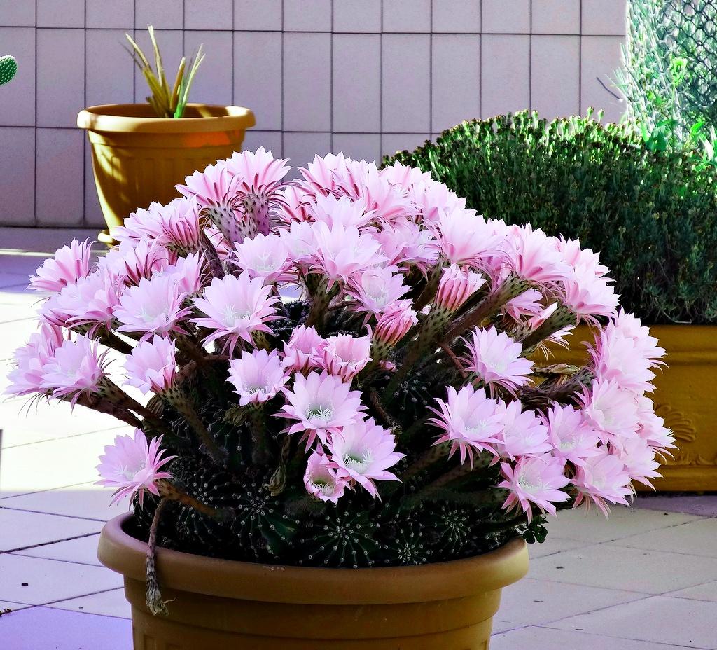 Echinopsis planter et entretenir ooreka - Voir tous les cactus ...
