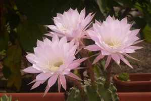 Multiplication de l'<em>Echinopsis oxygona</em>