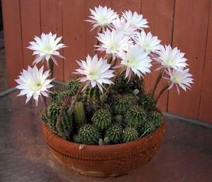 Plantation d'<em>Echinopsis oxygona</em>