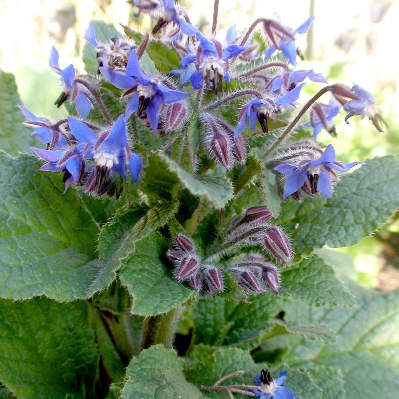 Bourrache : planter et cultiver - Ooreka