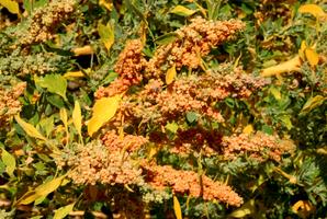 Semis et plantation du chénopode