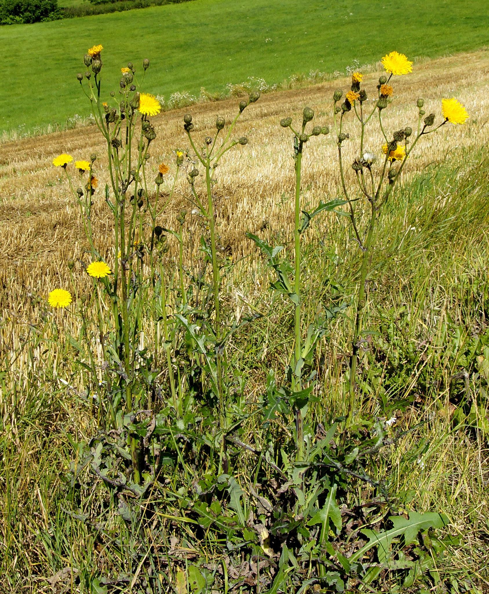 Laiteron des champs semer et cultiver ooreka - Ou acheter le tapis champ de fleurs ...