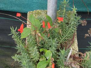 Culture et entretien de <em>Seemannia nematanthodes</em>