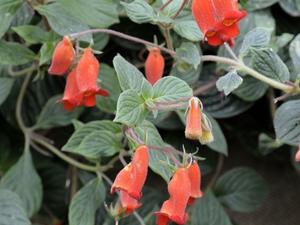 Multiplication de <em>Seemannia nematanthodes</em>