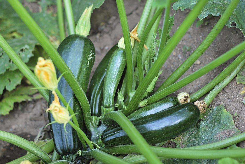 Courgette semer et planter ooreka - Quand semer les courgettes ...