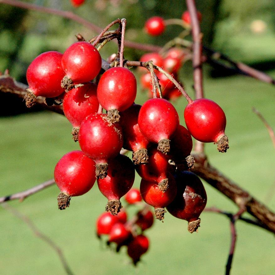 ... Fruits ronds et rouges. Qualités : Rustique jusqu'à -15, -20 °C