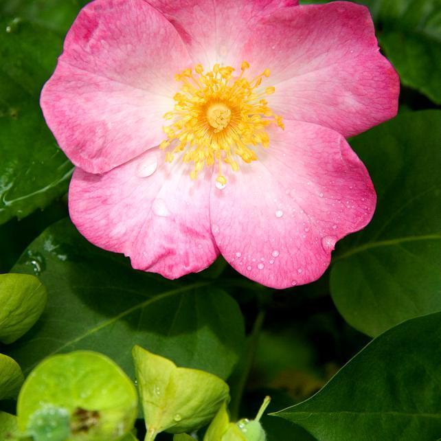 Variété sans épines Rosa canina 'Inermis'