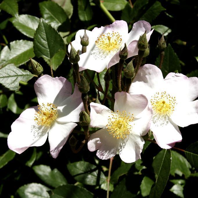 Variétés à fleurs simples Églantier commun (Rosa canina)