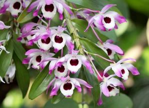 Plantation des <em>Dendrobium nobile</em>