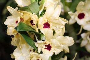 Culture et entretien des <em>Dendrobium nobile</em>