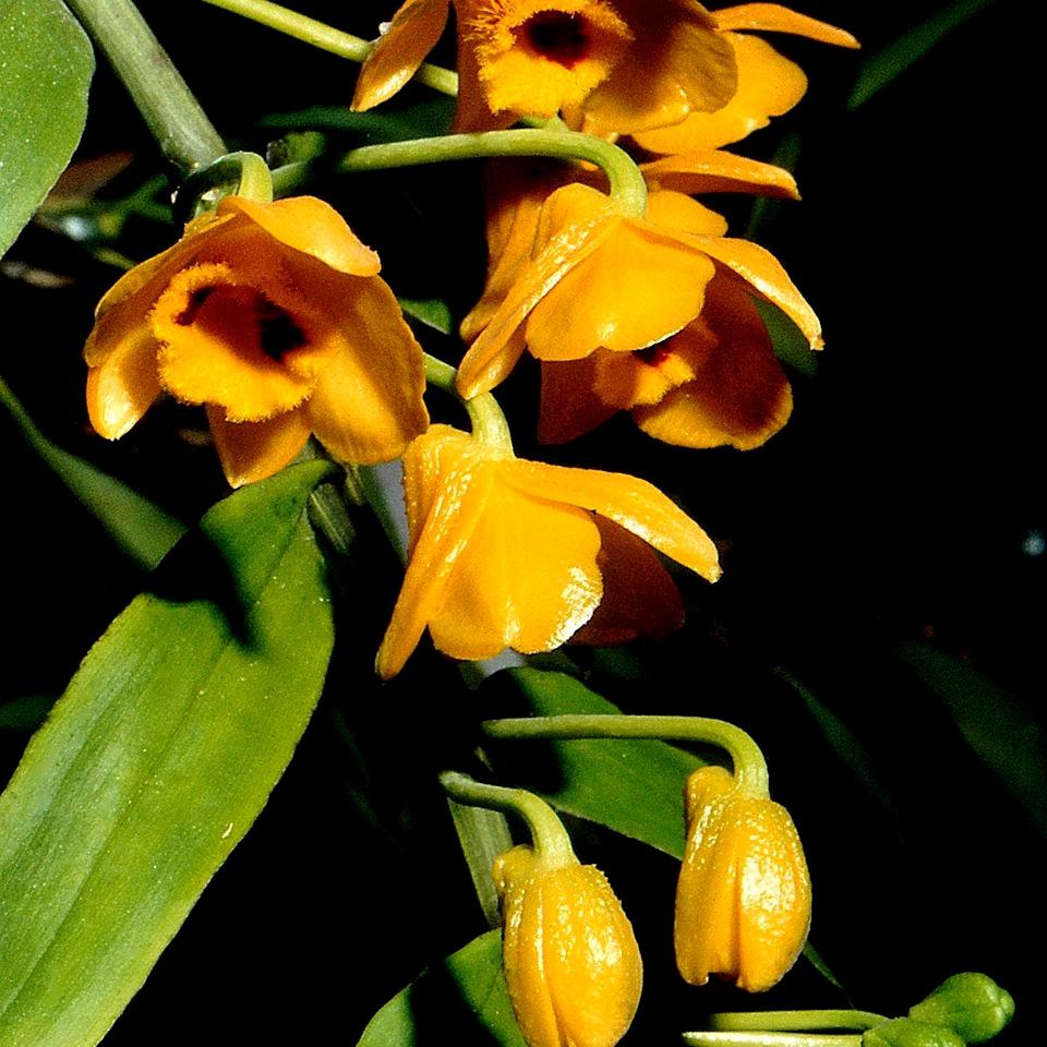 Dendrobium botaniques Groupe1 Dendrobium chrysanthum