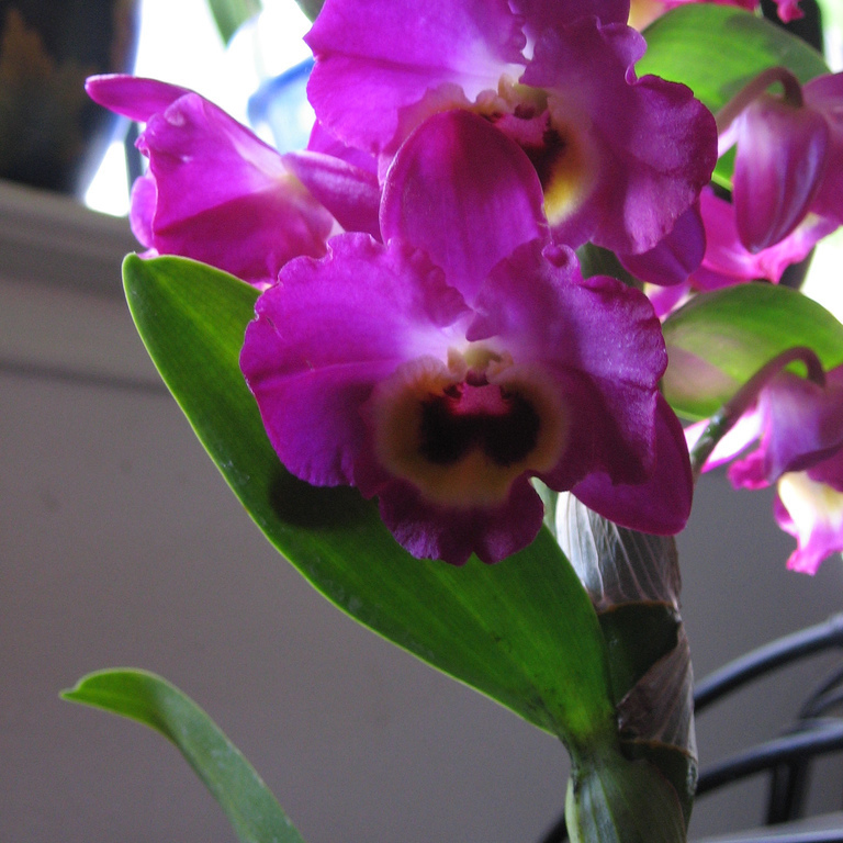 Hybrides Groupe1 Dendrobium 'Yukidaruma'