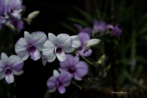 Plantation des <em>Dendrobium phalaenopsis</em>