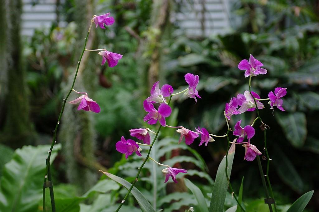 dendrobium phalaenopsis planter et entretenir ooreka. Black Bedroom Furniture Sets. Home Design Ideas
