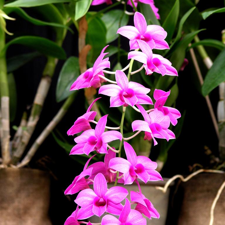 Botaniques groupe6 Dendrobium biggidum (ex Dendrobium phalaenopsis)