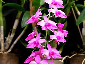 Multiplication des <em>Dendrobium phalaenopsis</em>