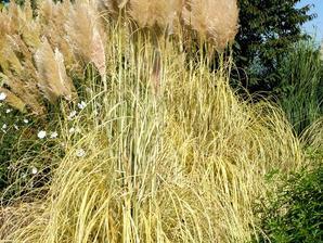 Culture et entretien de l'herbe de la pampa