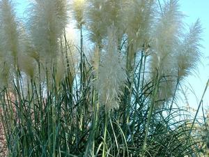 Multiplication de l'herbe de la pampa