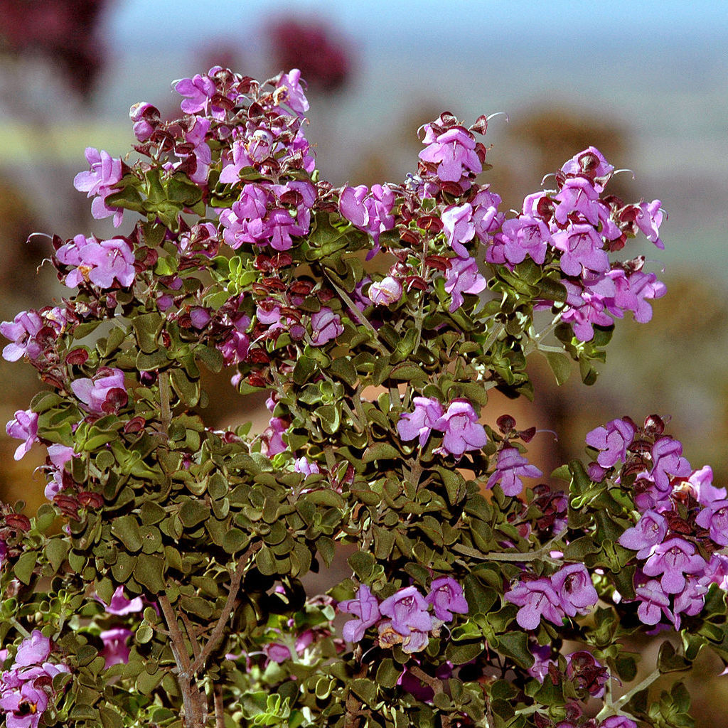 Prostanthère à feuilles rondes (Prostanthera rotundifolia)