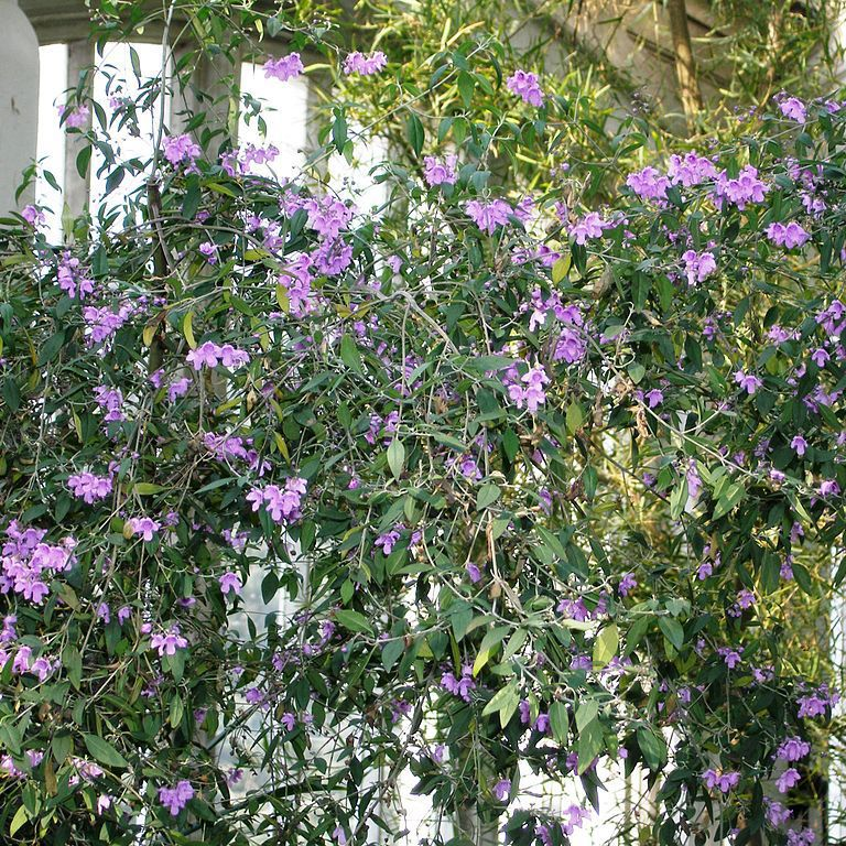 Prostanthère à feuilles ovales (Prostanthera ovalifolia)