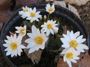 Multiplication de <em>Sanguinaria canadensis</em>