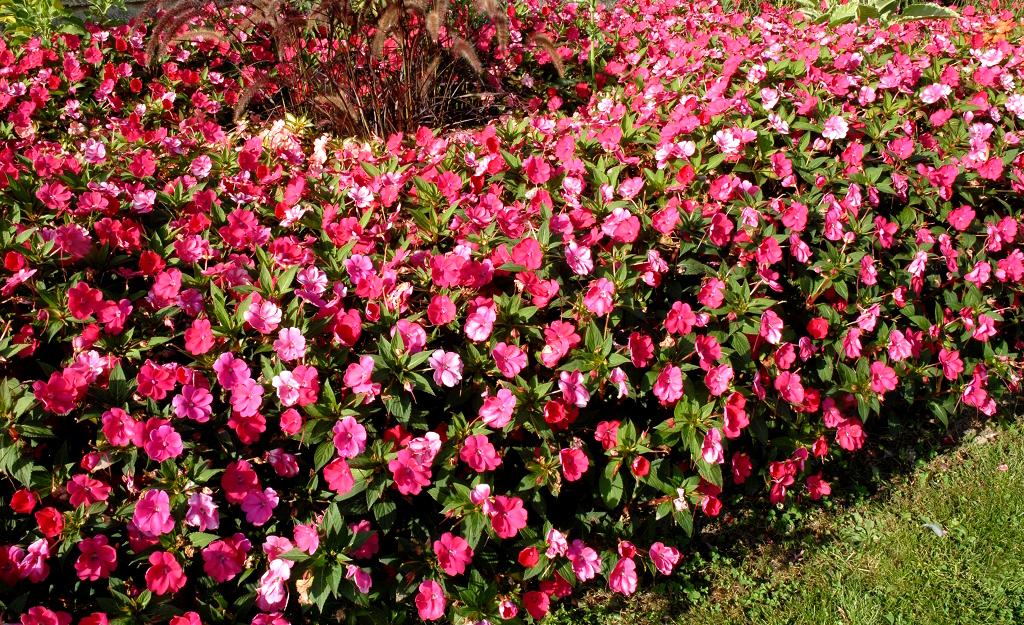 Impatiens planter et entretenir ooreka - Plantes vivaces fleuries toute l annee ...