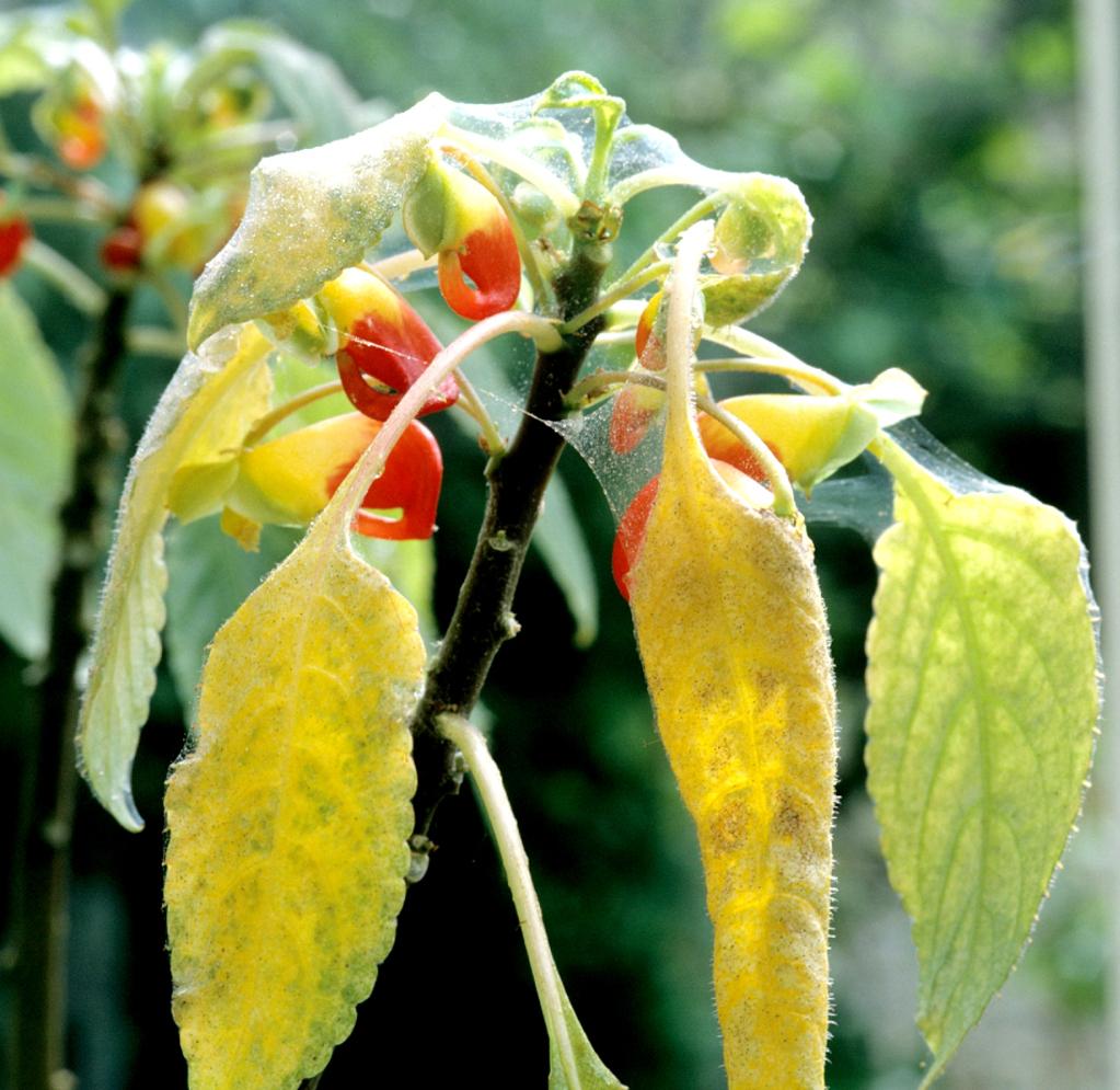 Impatiens planter et entretenir ooreka for Plante zanzibar