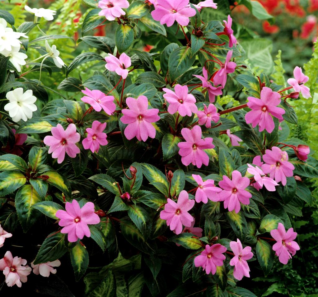 Impatiens planter et entretenir ooreka for Ou acheter plante