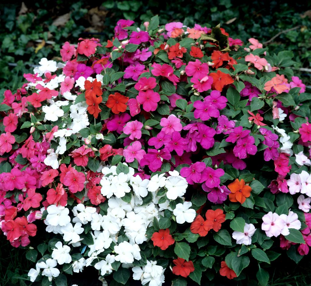Petites Plantes Fleuries En Pot impatiens : planter et entretenir – ooreka