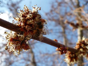 Multiplication d'<em>Acer rubrum</em>