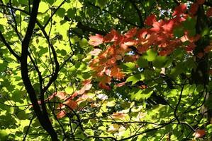 Plantation de l'érable rouge